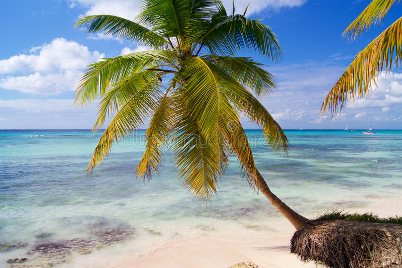 Palm bending over the Caribbean Sea stock photo