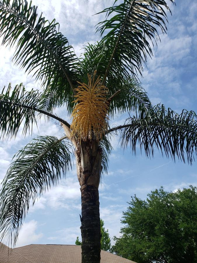 Palm in bloom. Qween, summer, tropical royalty free stock image
