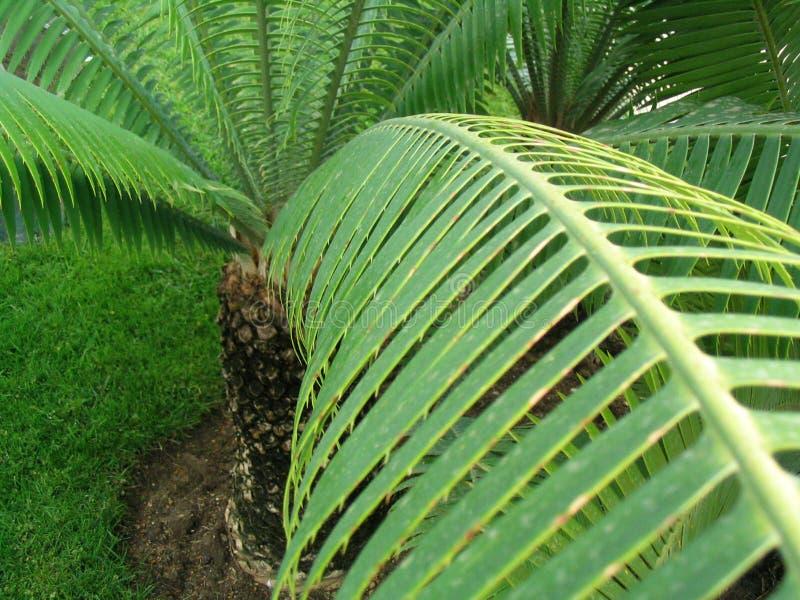 Palm-boom royalty-vrije stock afbeelding
