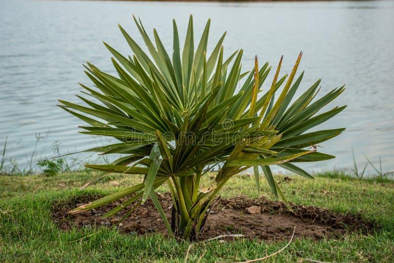Palm Borassus flabellifer stock afbeeldingen
