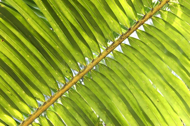 Palm branch. Sunlight through green palm branch royalty free stock photos