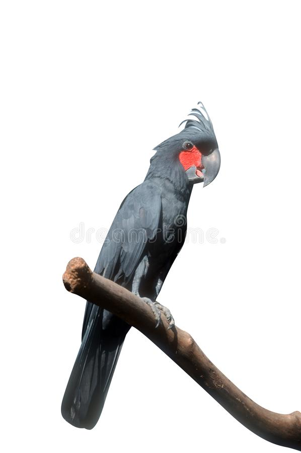 PALM COCKATOO, Probosciger aterrimus royalty free stock photography