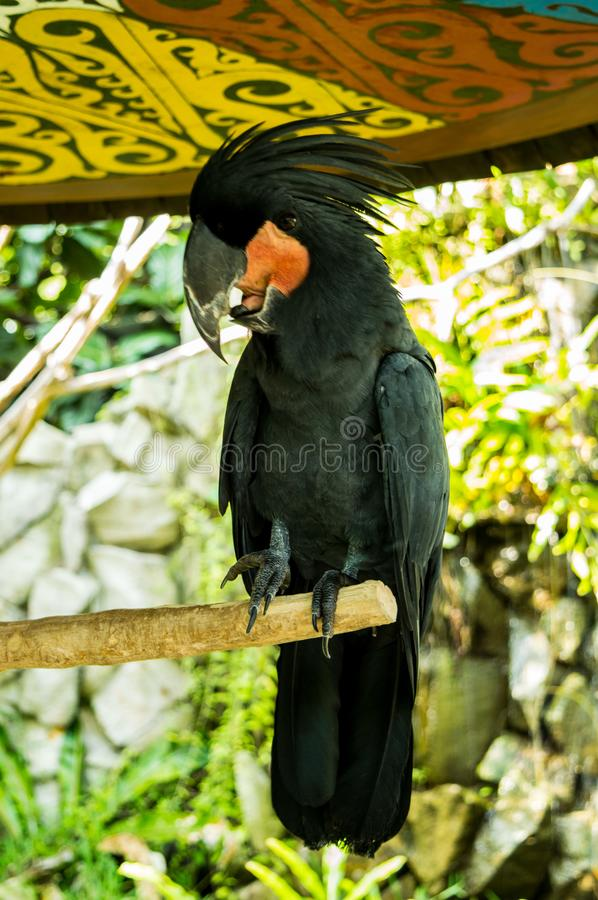 The palm cockatoo Probosciger aterrimus standing on branch stock image