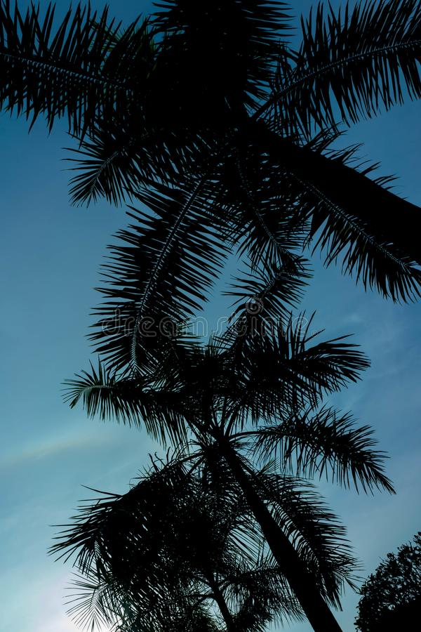 Palm coconut tree in sihouette against the blue sky royalty free stock photo