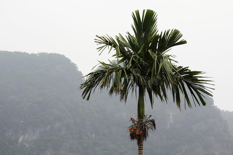 A palm in countryside in Nihn Bihn district, Vietnam royalty free stock image