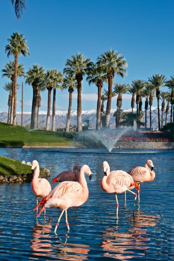 Palm Desert Desert Springs ropar flamingos berg snötäckta Palm-träd fotografering för bildbyråer