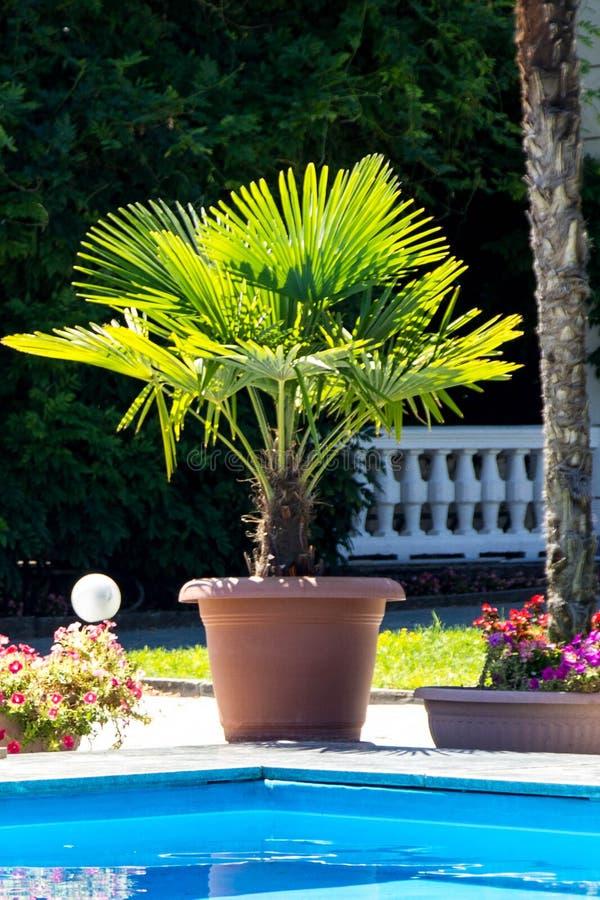 Palm door de pool in een pot royalty-vrije stock foto