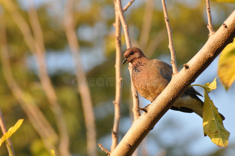 Palm dove stock photography