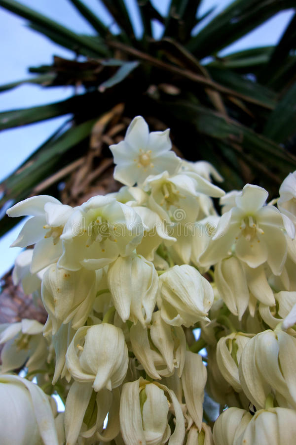 Palm Flower Detail royalty free stock images