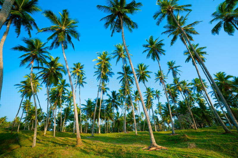 Download Palm Forest Royalty Free Stock Images - Image: 26387589
