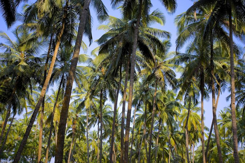 Palm forest above blue sky in India. Coconut palm forest above blue sky India, Goa royalty free stock photography