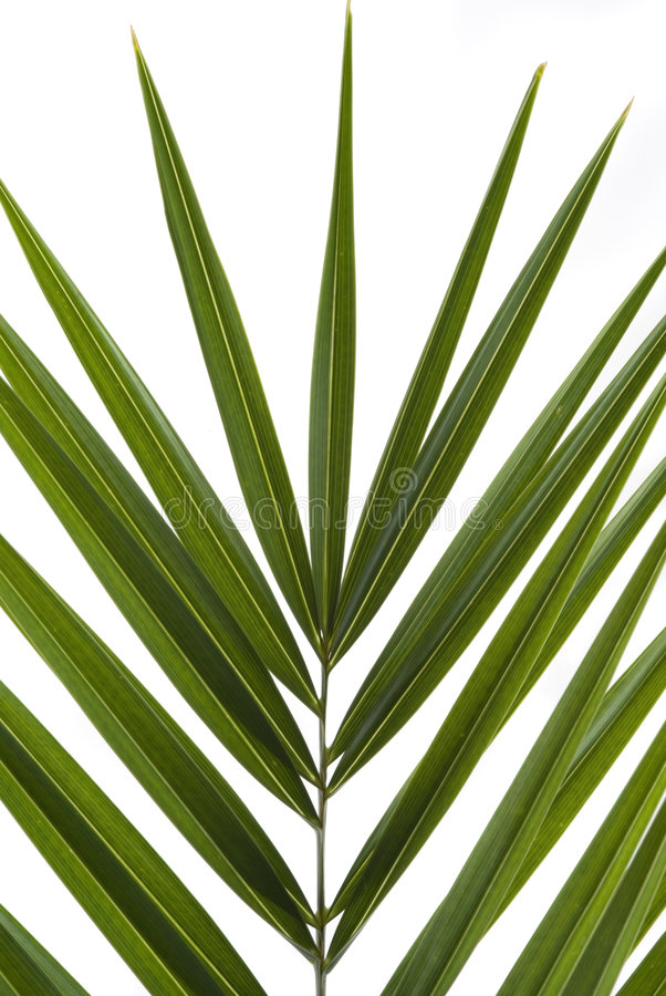 Free Palm Frond Royalty Free Stock Photo - 3737955