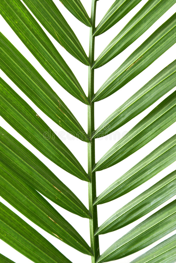 Free Palm Frond Stock Photos - 8040773