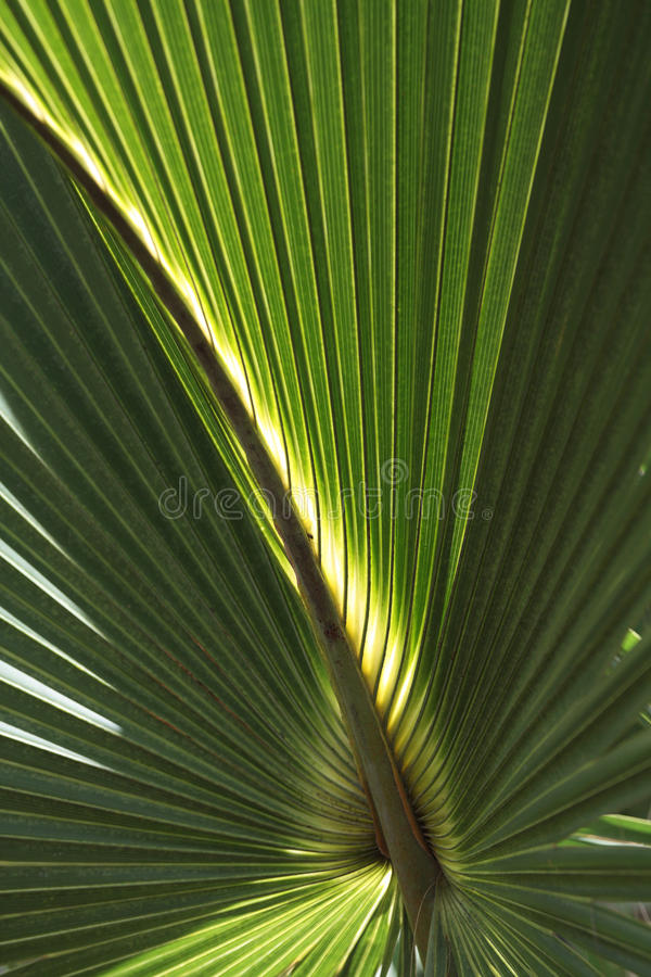 Palm Frond Background royalty free stock photo