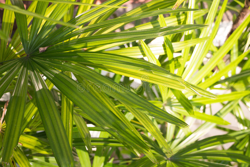 Palm frond of saw palmetto leaf. Palm frond macro of saw palmetto leaf royalty free stock photos