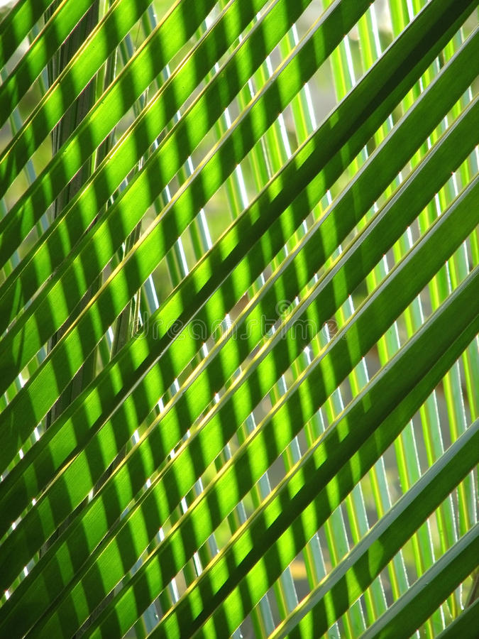 Palm Fronds with Backlighting on Island of St John, USVI stock photography