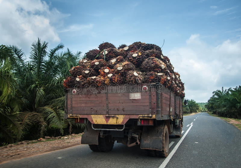 Palm fruit on lorry. Oil palm fruit go to factory royalty free stock photos