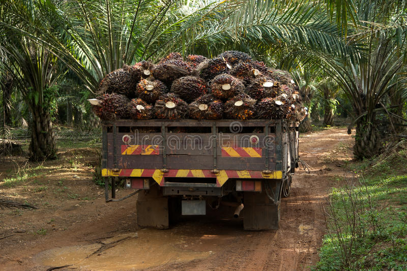 Palm fruit on lorry. Oil palm fruit go to factory royalty free stock images