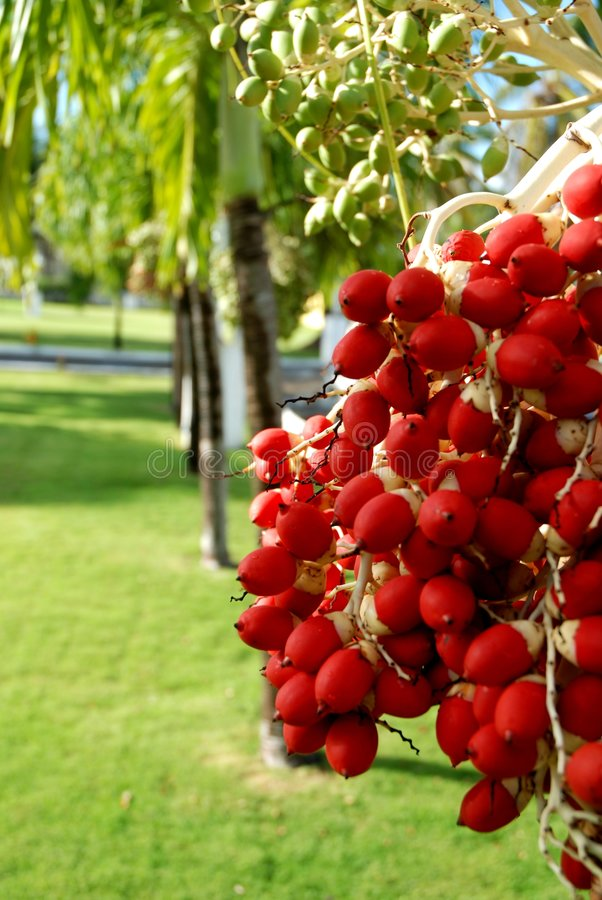 Download Palm Fruits 1 stock image. Image of island, tropical, tree - 4769707