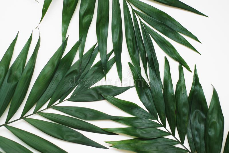 Palm Green Leaves Tropical Exotic Tree Isoalted on White Background. Holliday Patern Template. Palm Green Leaves Tropical Exotic Tree Isoalted on White royalty free stock photo