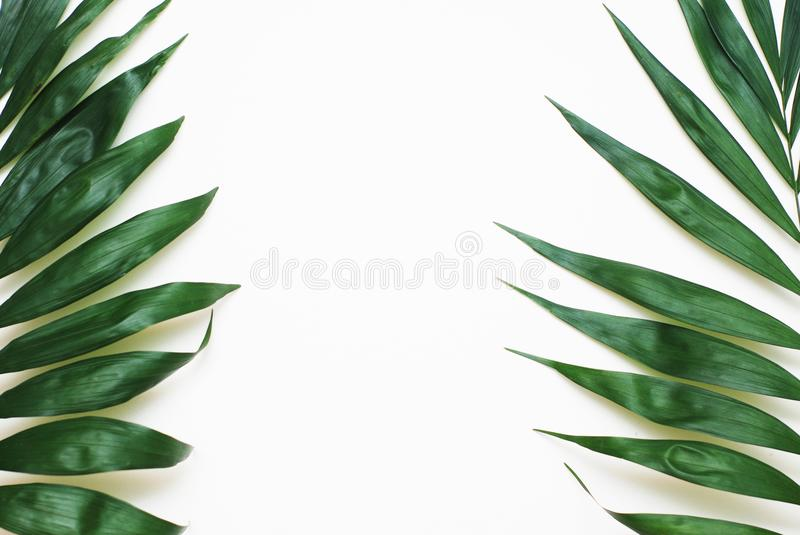 Palm Green Leaves Tropical Exotic Tree Isoalted on White Background. Holliday Patern Template. Palm Green Leaves Tropical Exotic Tree Isoalted on White royalty free stock photography