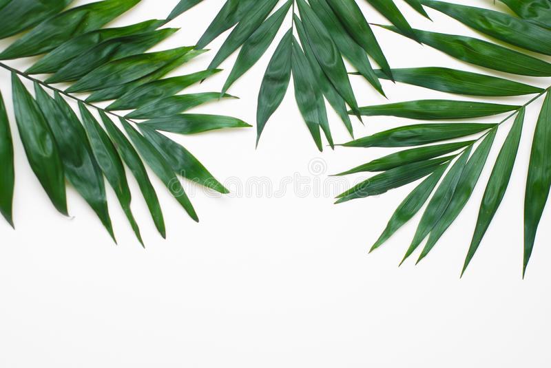 Palm Green Leaves Tropical Exotic Tree Isoalted on White Background. Holliday Patern Template. Palm Green Leaves Tropical Exotic Tree Isoalted on White stock image