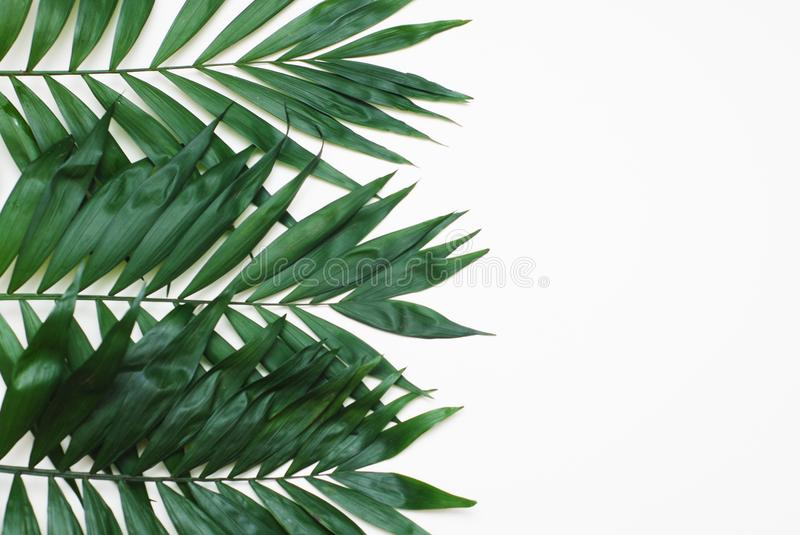 Palm Green Leaves Tropical Exotic Tree Isoalted on White Background. Holliday Patern Template. Palm Green Leaves Tropical Exotic Tree Isoalted on White stock photography