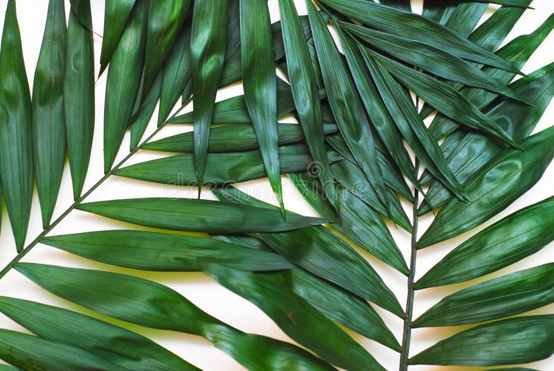 Palm Green Leaves Tropical Exotic Tree Isoalted on White Background. Holliday Patern Template. Palm Green Leaves Tropical Exotic Tree Isoalted on White royalty free stock photos