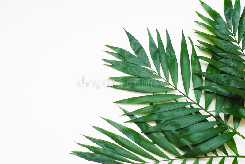 Palm Green Leaves Tropical Exotic Tree Isoalted on White Background. Holliday Patern Template. Palm Green Leaves Tropical Exotic Tree Isoalted on White stock photo