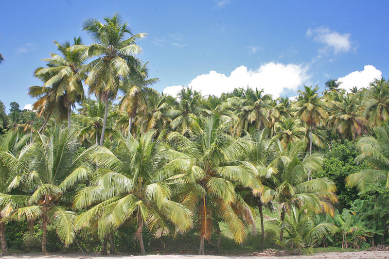 Palm grove. In the Dominican Republic, Samana Peninsula. White sand beach and dense thickets of palms - an amazing picture, as Columbus saw the island when he stock photography