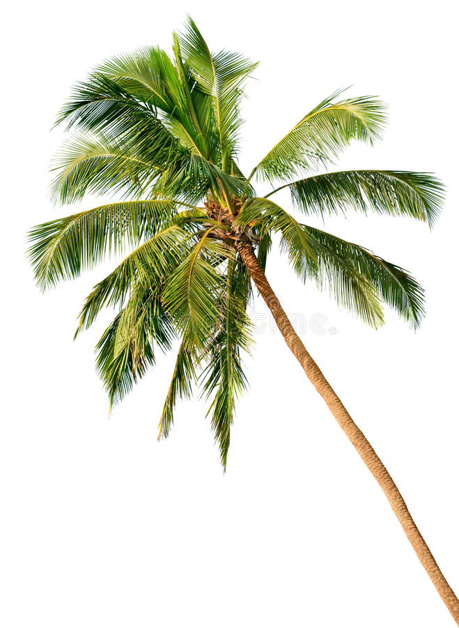 Download Palm Isolated On White Background Stock Photo - Image: 26214962