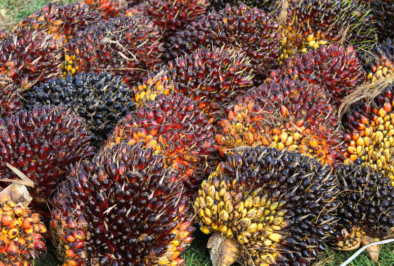 Palm kernel. Mature oil palm kernel fruits stock images