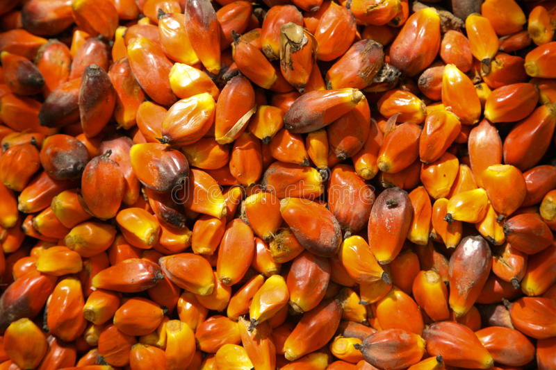 Palm Kernels. Close-up of kernels from a palm tree in Ghana Africa royalty free stock images