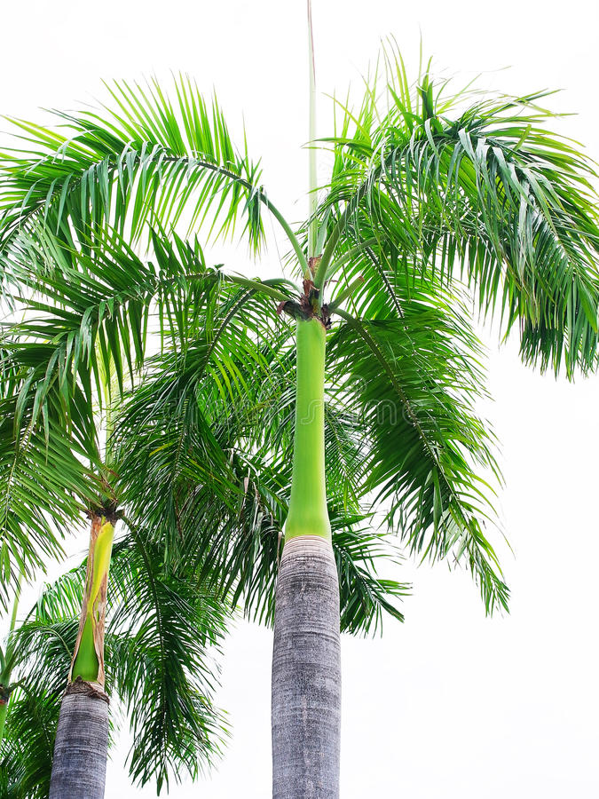 Palm king. Trees with erected stems grown as ornamental plants in various places stock images