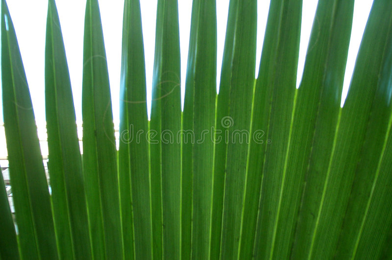Download Palm leaf stock photo. Image of radial, closeup, tree, leaf - 410