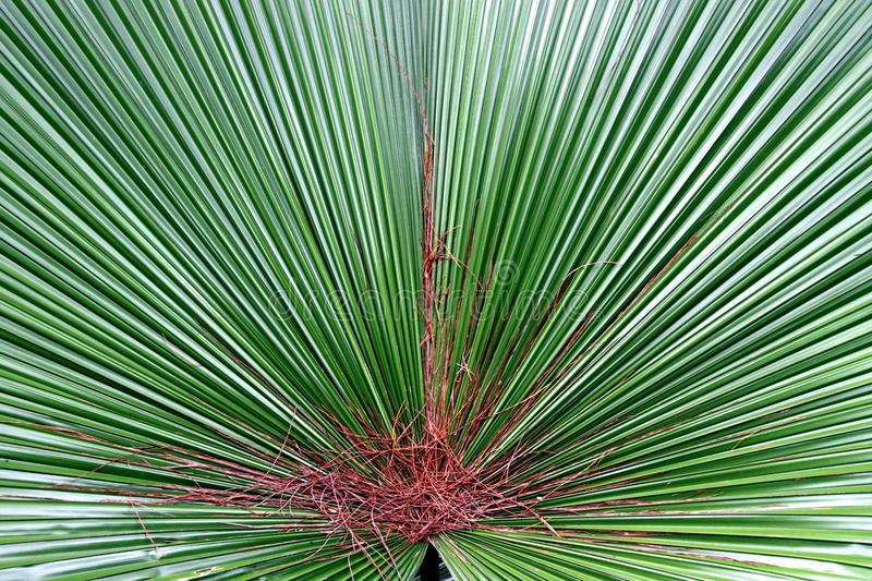 Download Palm leaf stock photo. Image of flora, foliage, background - 14958130
