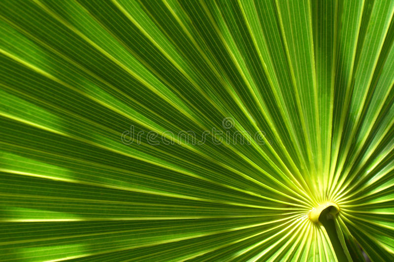 Download Palm leaf stock image. Image of exotic, palm, flora, leaf - 25237697