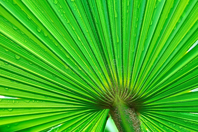 Download Palm Leaf stock image. Image of lush, fanlike, garden - 29042389