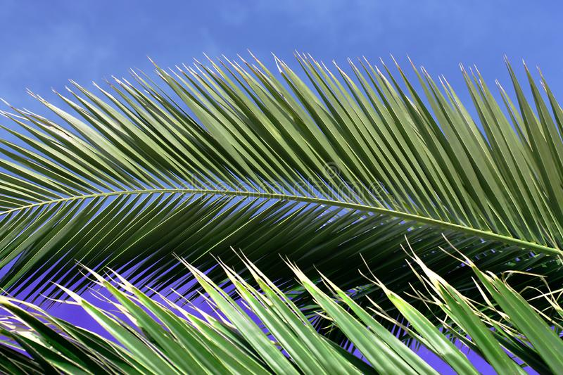 Palm leaf against blue skies. Green palm leaves against sunny blue skies with copy space stock images