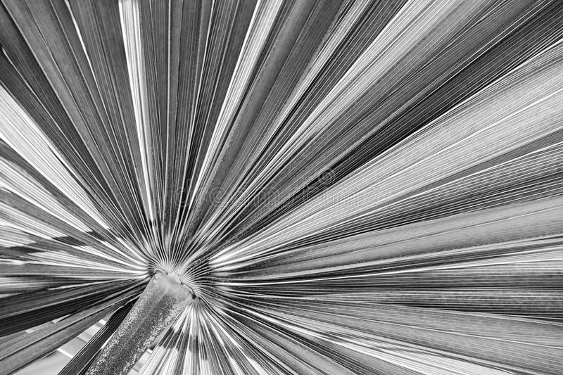 Palm leaf in black and white royalty free stock photos
