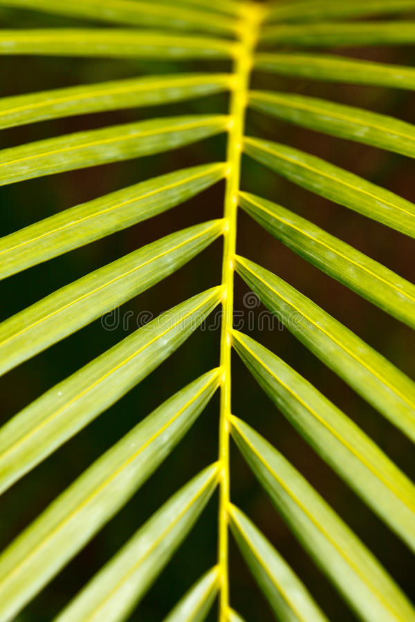 Palm Leaf Close Up Royalty Free Stock Images