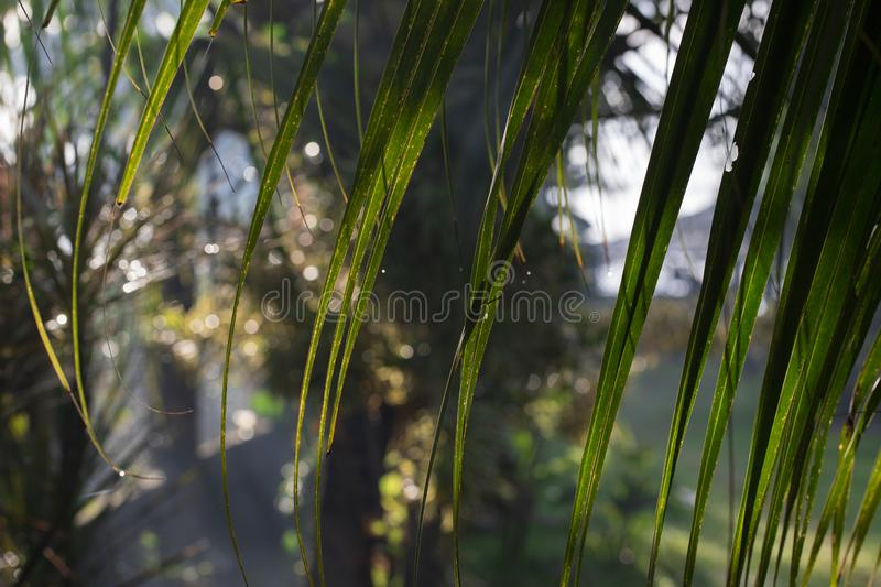 Palm leaf closeup in tropical garden. Fresh morning dew with sun light and greenery. Tropical island sunrise photo. Exotic nature in sunlight. Abstract natural royalty free stock photography