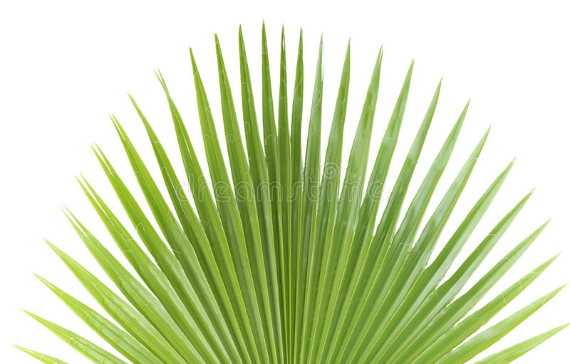 Palm leaf. royalty free stock images