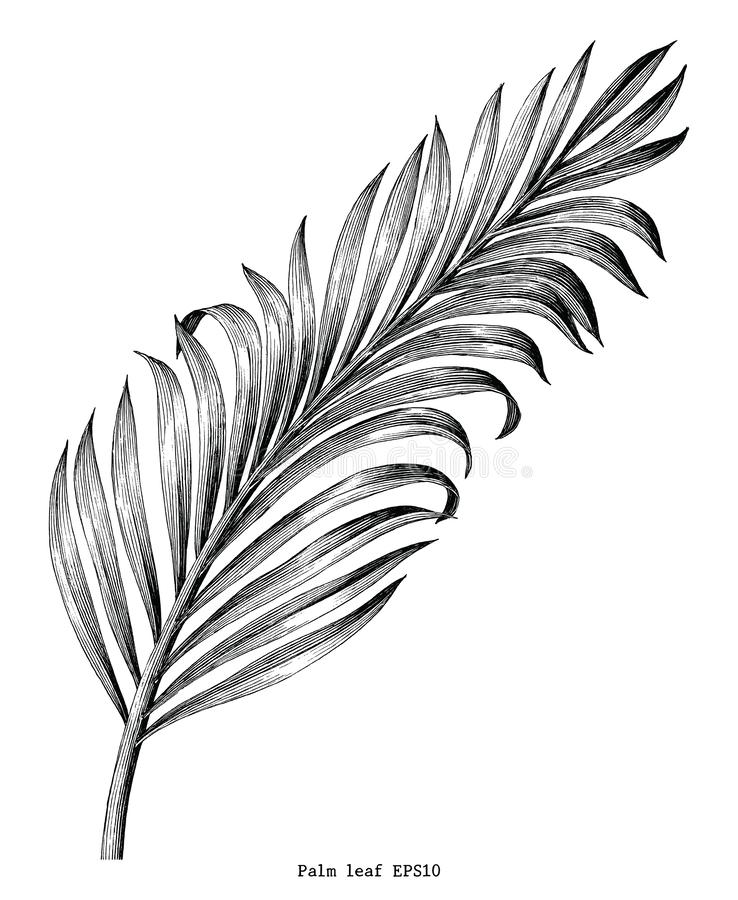 Palm leaf hand draw vintage engraving clip art isolated on white. Background vector illustration