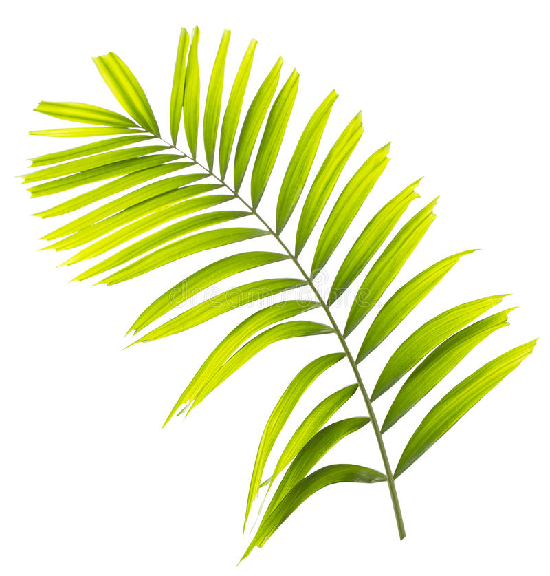 Palm leaf isolated. On white background stock photography