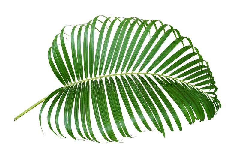 Palm Leaf Isolated on White Background royalty free stock photos
