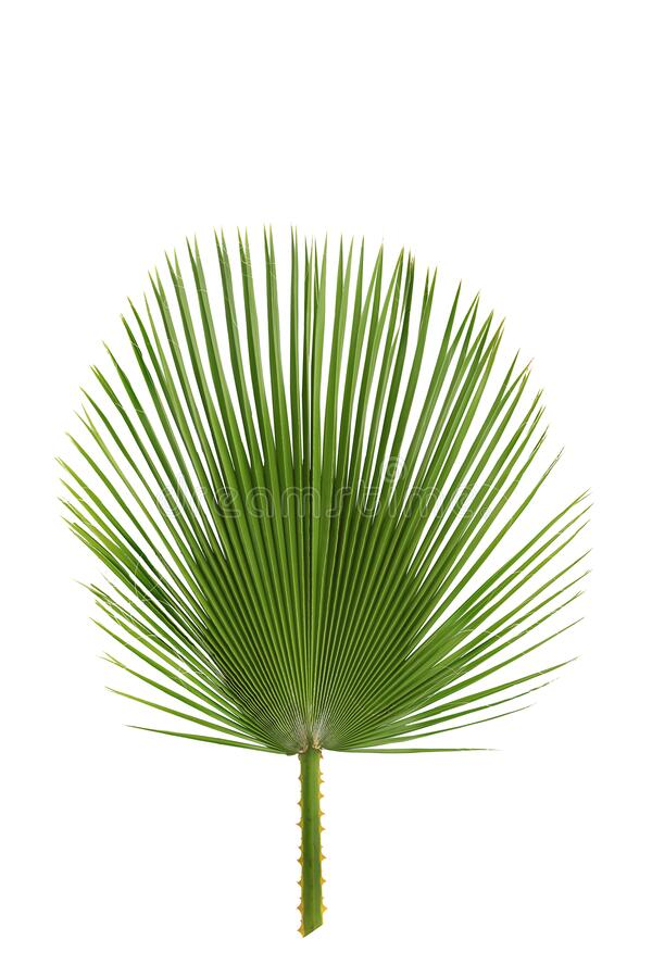 Palm leaf long, pointed leaves isolated. stock photography