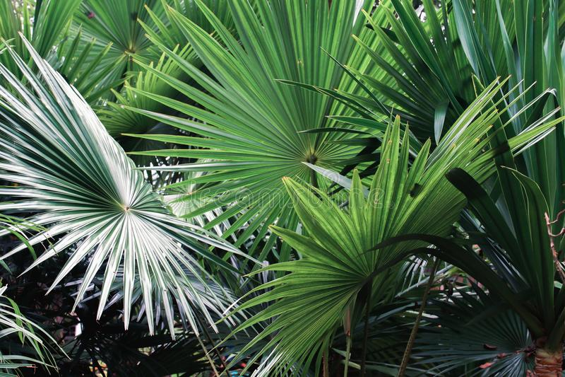 palm leaf in nature royalty free stock photography