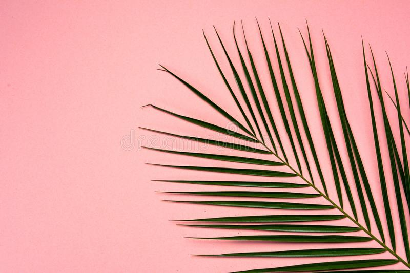 Palm leaf on pink background. Detail pattern view plant pastel green object curve single delicate summer nature lush growth leaves flora tree botany coconut stock photo
