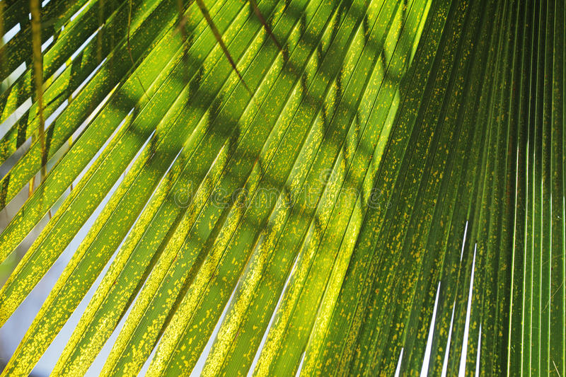 Download Palm leaf texture stock photo. Image of closeup, tropics - 23374416